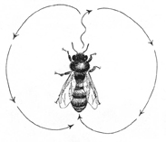 The wagging communication dance of a scout honeybee