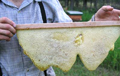 Honey comb - A clean, fully capped comb of honey from the TBH.