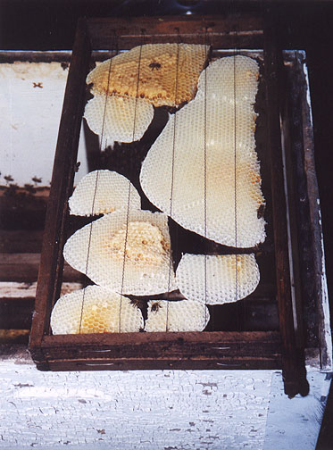 All different size combs in swarm catching frame. The bees build comb to tie them all together quite nicely.