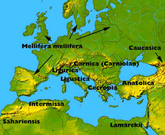 Important races which are included in the Buckfast strain are Mellifera from England and France, Ligurica (Ligustica) from Northern Italy, Cecropia from Greece and Anatolica from Turkey.