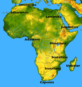 The honeybee races in Africa are at least as differing from each other as the European races are between themselves. African honeybees are not only Scutellata (the Africanized bee), but also the interesting and promising Monticola from the East African mountains.