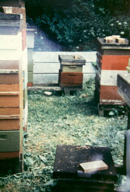 An apiary of Poul Erik Karlsen on Bornholm. Many of his colonies had not been treated anything against the varroa mite for five years, when the photo was taken.