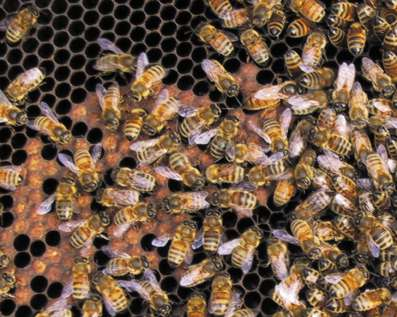 The new queen in Colony A with some healthy brood and bees in October. Photo: E Osterlund