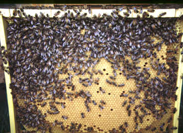 A colony with first cross workers, daughters to a M14 daughter. Very nice brood pattern.