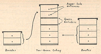 Figure 1. Diagram showing establishment of a breeder colony above a booster colony.