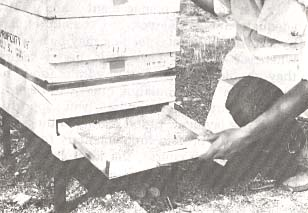 FIGURE 3. - Collecting trapped pollen pellets from a honey bee colony. Pollen trap collection tray is re-moved from back of hive.