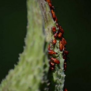 Nymphs of large milkweed bug (Oncopeltus fasciatus) on milkweed.