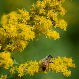 European honeybee (Apis mellifera) on goldenrod.