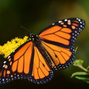 Adult monarch butterfly (Danaus plexippus).  You can tell this monarch has recently emerged from its chrysalis.  How you say?  Looks at the edges of i