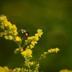 Bumblebee on goldenrod.  Note large pollen pack.