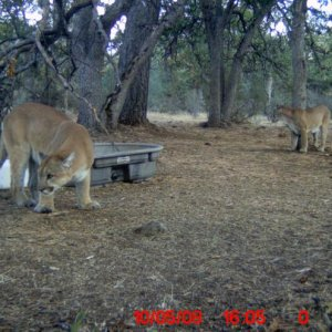 mountain lions 100608