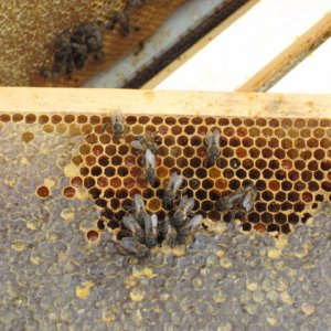 Top box frame cluster of dead bees 1